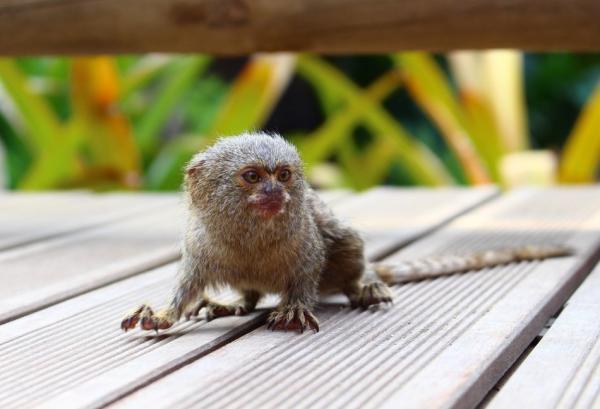 Los animales más pequeños del mundo - Tití pigmeo o Cebuella pygmaea