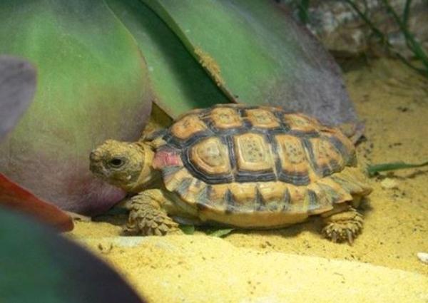 Los animales más pequeños del mundo - Tortuga manchada o Homopus signatus