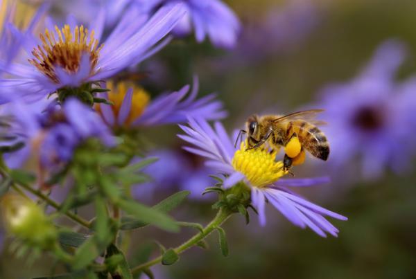 Importancia de la polinización - Importancia de la polinización de las abejas
