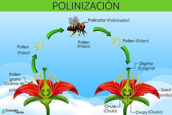 Importancia de la polinización - Qué es la polinización