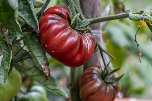 +30 tipos de tomates - Tipos de tomates con pocas semillas: el tomate moruno