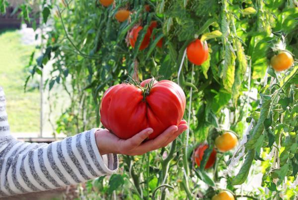 +30 tipos de tomates - Tipos de tomates grandes: el tomate rosa de Barbastro