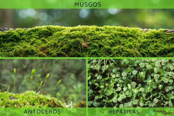 Plantas no vasculares: qué son, características y ejemplos - Ejemplos de plantas no vasculares