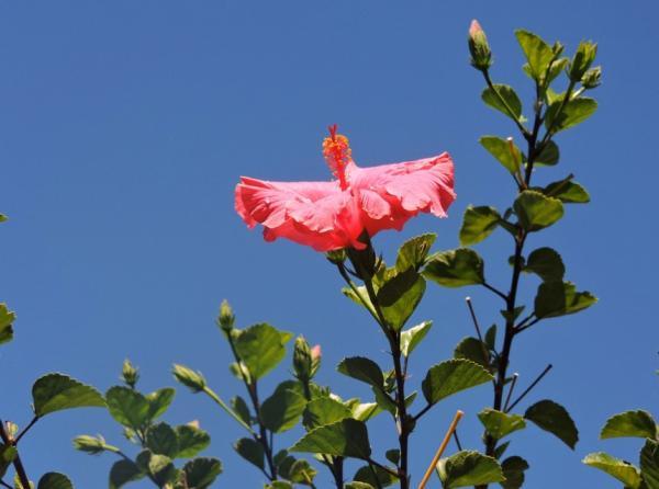 Cuidados del hibisco o hibiscus - Para qué sirve el hibisco - propiedades y beneficios