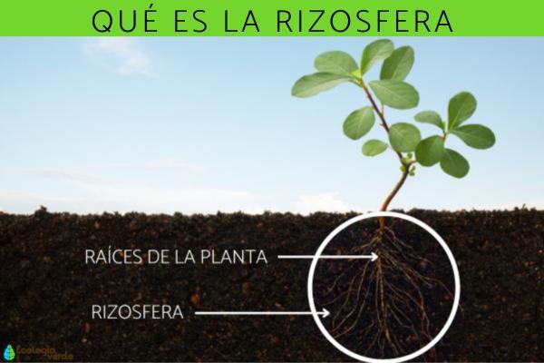 Rizosfera: qué es, para qué sirve, composición e importancia