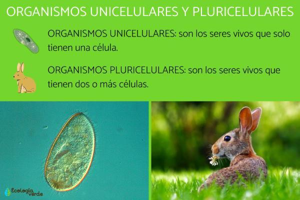 Organismos unicelulares y pluricelulares: ejemplos y diferencias