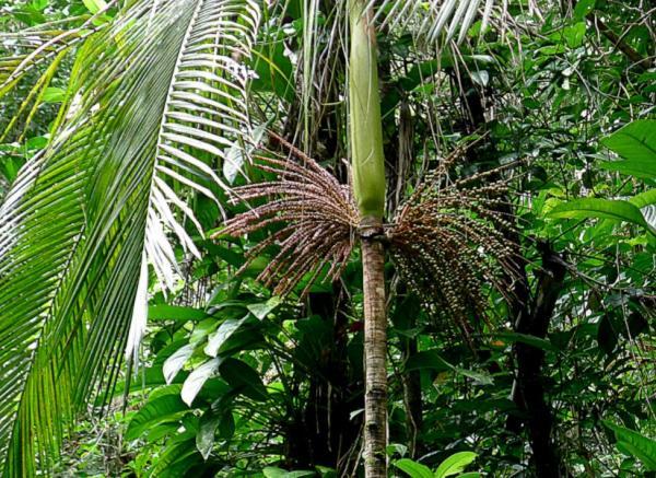 Plantas en peligro de extinción en Paraguay - Palmito o jeruti