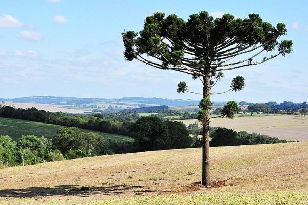 Plantas en peligro de extinción en Paraguay - Pino paraná