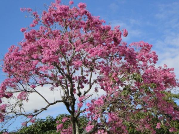 Plantas en peligro de extinción en Paraguay - Tajy hu o lapacho