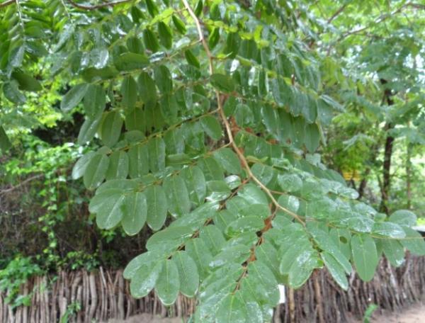 Plantas en peligro de extinción en Paraguay - Ybyra piriri guasu