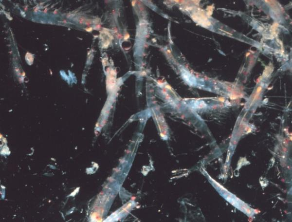 Qué es el zooplancton - Qué es el zooplancton - definición y características