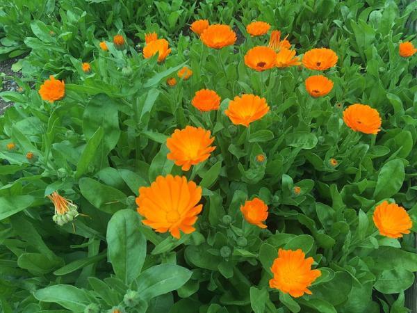 Planta de caléndula: cuidados y para qué sirve - Características de la planta caléndula
