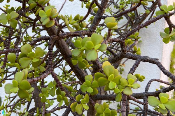 Cómo cuidar un árbol de la abundancia