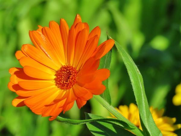 Planta de caléndula: cuidados y para qué sirve