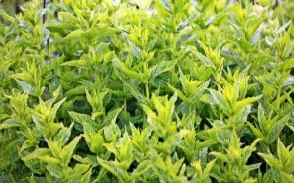 Cuidados de la planta de menta en maceta - Características de la planta menta