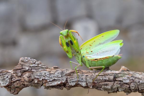 ¿La mantis religiosa es venenosa?
