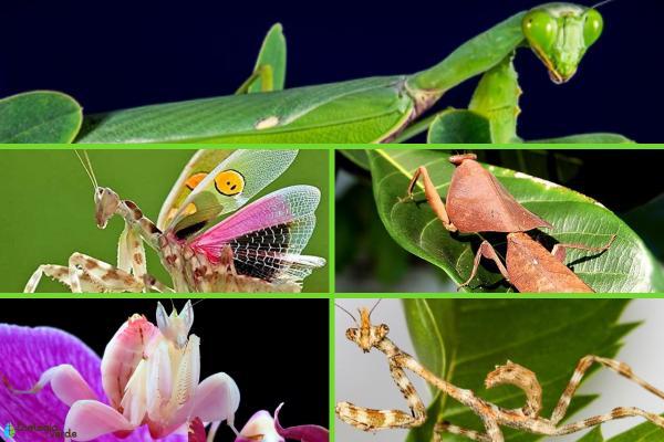 ¿La mantis religiosa es venenosa? -  Tipos de mantis religiosas