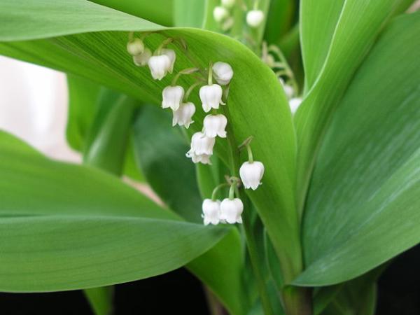 Tipos de bulbos de primavera - Muguet