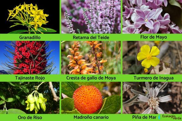 Flora y fauna de Canarias - Flora de Canarias