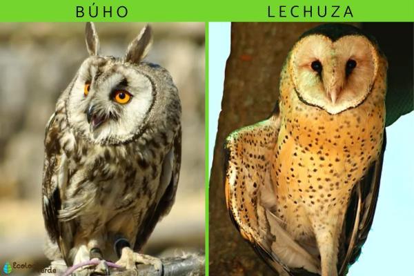 Diferencia entre búho y lechuza - Las diferencias entre búho y lechuza