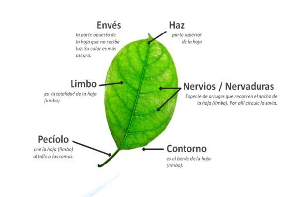 Partes de una hoja y sus funciones - Las partes de la hoja y las funciones de cada una