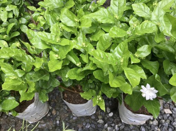 Cómo plantar un jazmín - Cuándo plantar un jazmín