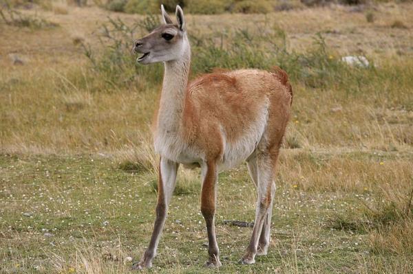 40 animales nativos de Chile - Guanaco (Lama guanicoe)
