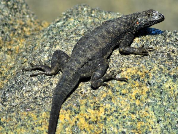 40 animales nativos de Chile - Lagarto corredor de Atacama (Microlophus atacamensis)