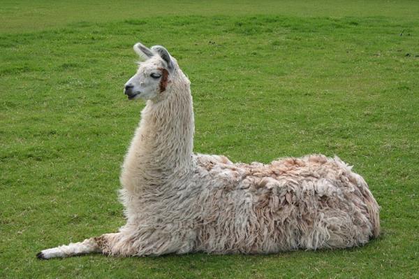 40 animales nativos de Chile - Llama (Lama glama)