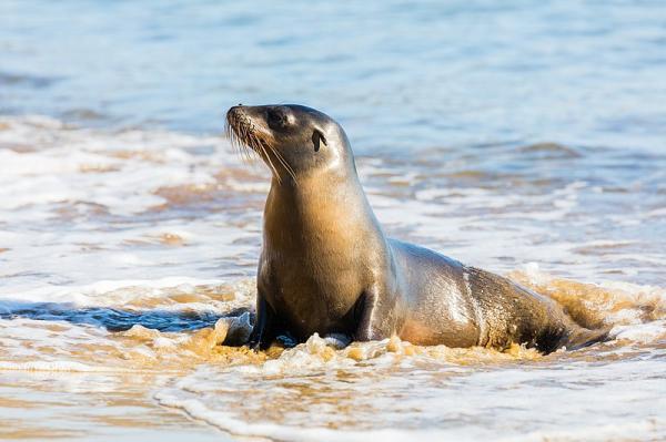 40 animales nativos de Chile - Lobo marino (Otaria flavescens)