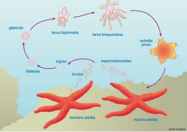Estrella de mar: características, reproducción y taxonomía - Cómo se reproducela estrellade mar