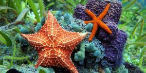Estrella de mar: características, reproducción y taxonomía