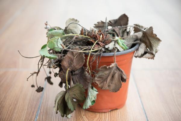 Revivir una planta: cómo hacerlo - Consejos para recuperar una planta seca