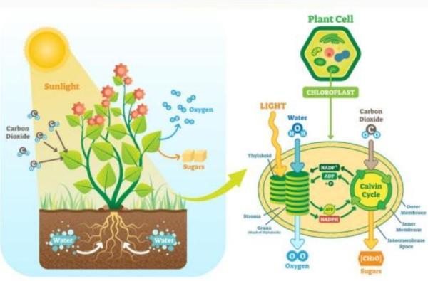 Función de nutrición: qué es y procesos - Función de nutrición en las plantas