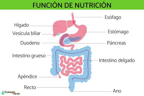 Función de nutrición: qué es y procesos