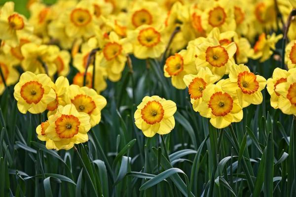 Plantar narcisos: cómo y cuándo hacerlo - Cuidados básicos de los narcisos