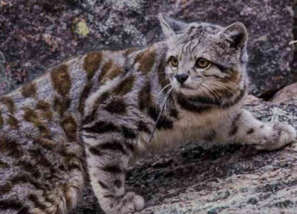 Felinos en peligro de extinción - Gato andino