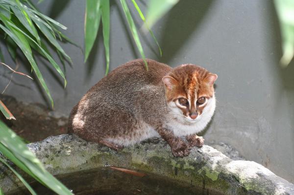 Felinos en peligro de extinción - Gato de cabeza plana