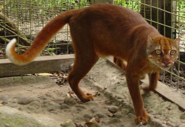 Felinos en peligro de extinción - Gato rojo de Borneo