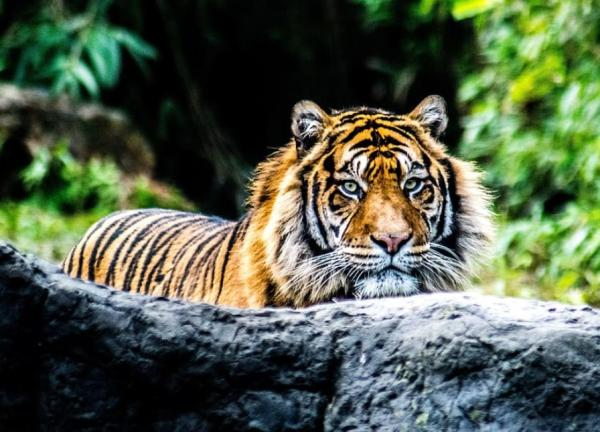 Felinos en peligro de extinción - Tigre