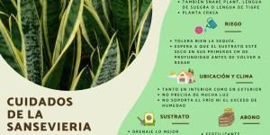Sansevieria trifasciata: cuidados