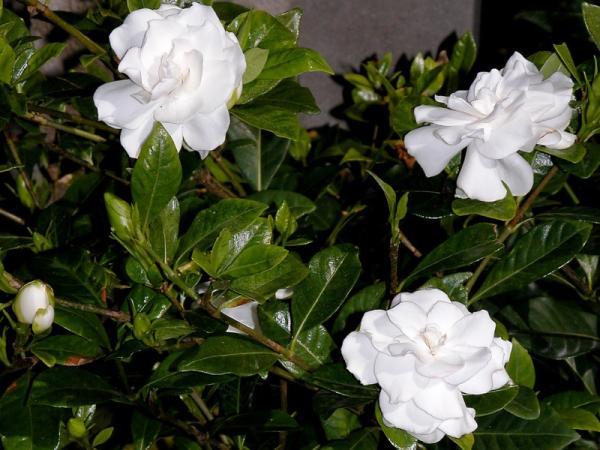 9 tipos de jazmín - Gardenia jasminoide o jazmín del Cabo