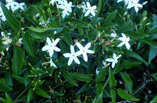 9 tipos de jazmín - Jasminum azoricum o jazmín de las Azores