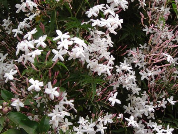 9 tipos de jazmín - Jazmín polyanthum o jazmín chino o trepador