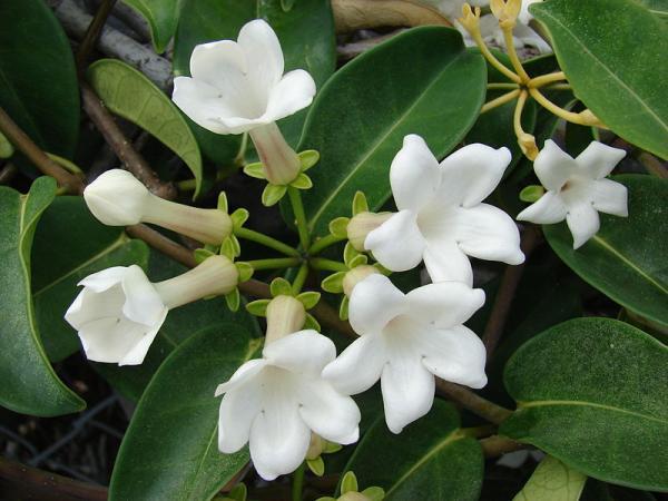 9 tipos de jazmín - Stephanotis floribunda o Jazmín de Madagascar