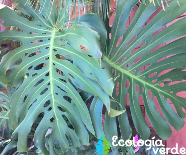 Planta costilla de Adán o Monstera deliciosa: cuidados - Cuidados de la planta costilla de Adán o Monstera deliciosa