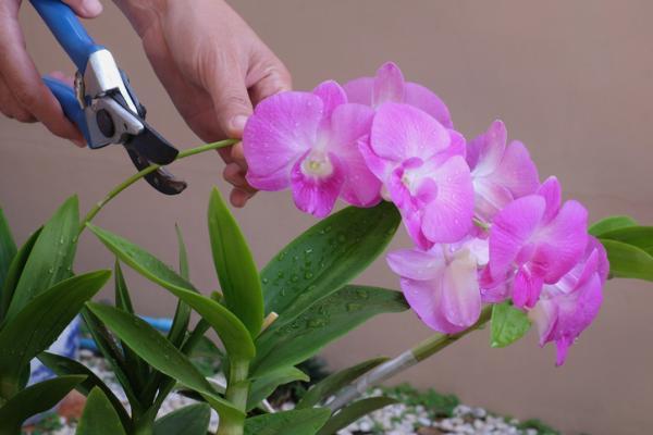 Cómo cuidar las orquídeas - Poda de las orquídeas