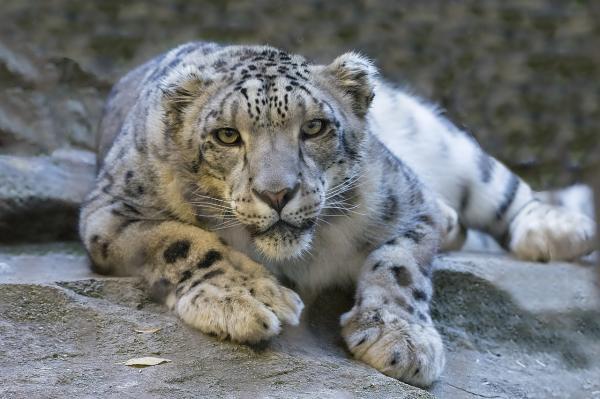 Por qué el leopardo de las nieves está en peligro de extinción - Características del leopardo de las nieves y dónde vive