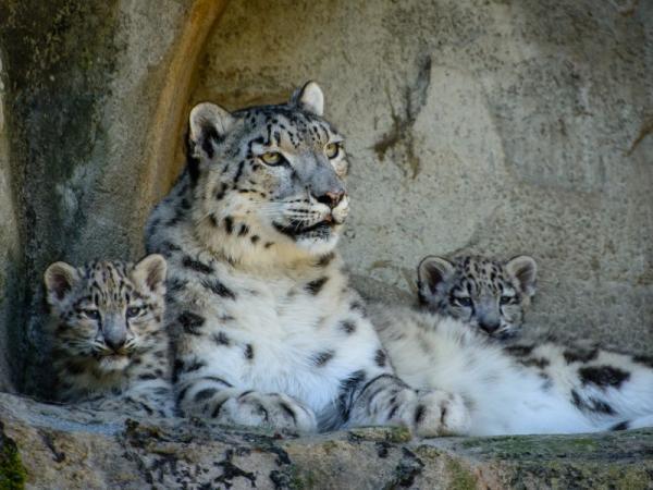 Por qué el leopardo de las nieves está en peligro de extinción - Medidas de protección del leopardo de las nieves - ¿cómo ayudarles?
