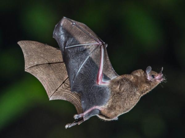 Cuáles son las características de los murciélagos